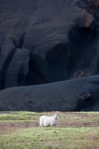 Le mouton d'Islande.