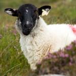Le mouton d'Irlande