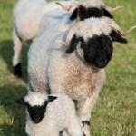 Le mouton de Suisse.